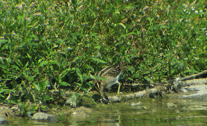 09_bekassine_common-snipe_ismaninger_2018-08-05_0999