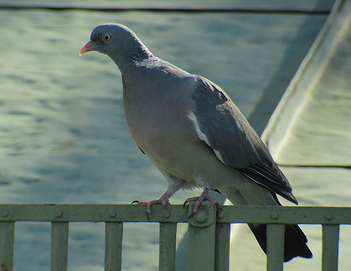 03_ringeltaube_common-wood-pigeon_friedhof_perlacher-forst_2018-10-14_2740