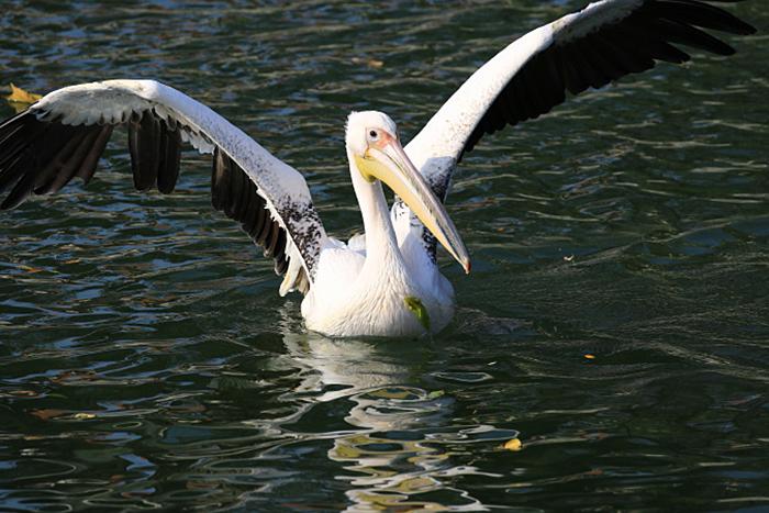 03_rosapelikan_great-white-pelican_2018_10_19_05327b1_ulrich_schaefer