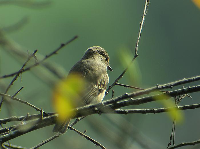 05_grauschnaepper_spotted-flycatcher_ammersee_2018-08-26_1762