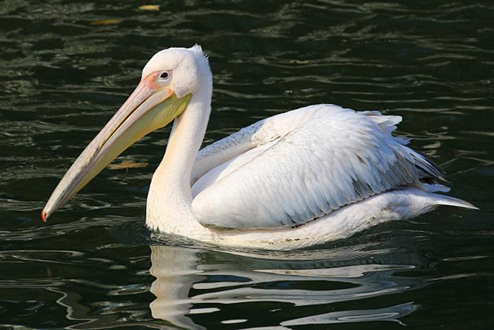 06_rosapelikan_great-white-pelican_2018_10_19_05320b1_ulrich-schaefer