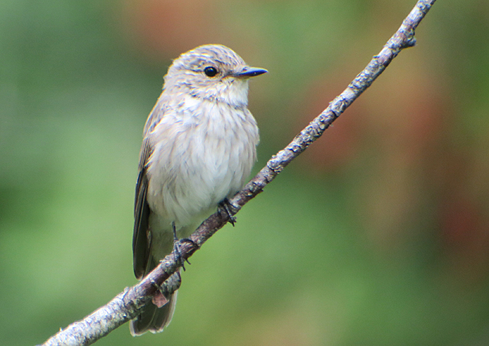 07_grauschnaepper_spotted-flycatcher_ammersee_2018-08-26_1830