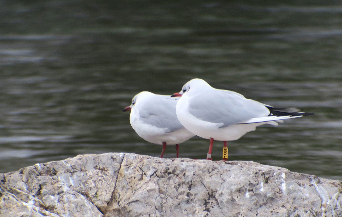 05_lachmoewe_black-headed-gull_muenchen_2019-01-12_6318