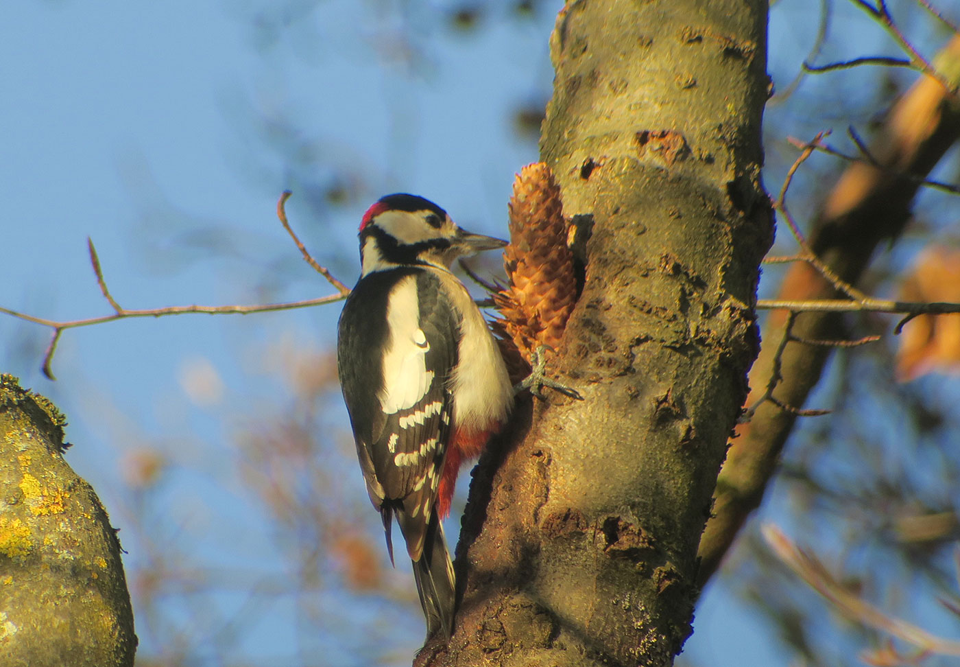 06_buntspecht_great_spotted-woodpecker_spechtschmiede_friedhof-perlacher_2018-12-26_5903