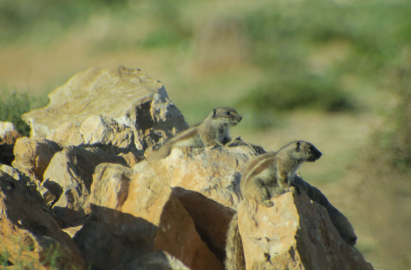 10_atlashoernchen_barbary-ground-squirrel_sidi-wassay_marokko_2018-11-24_3538