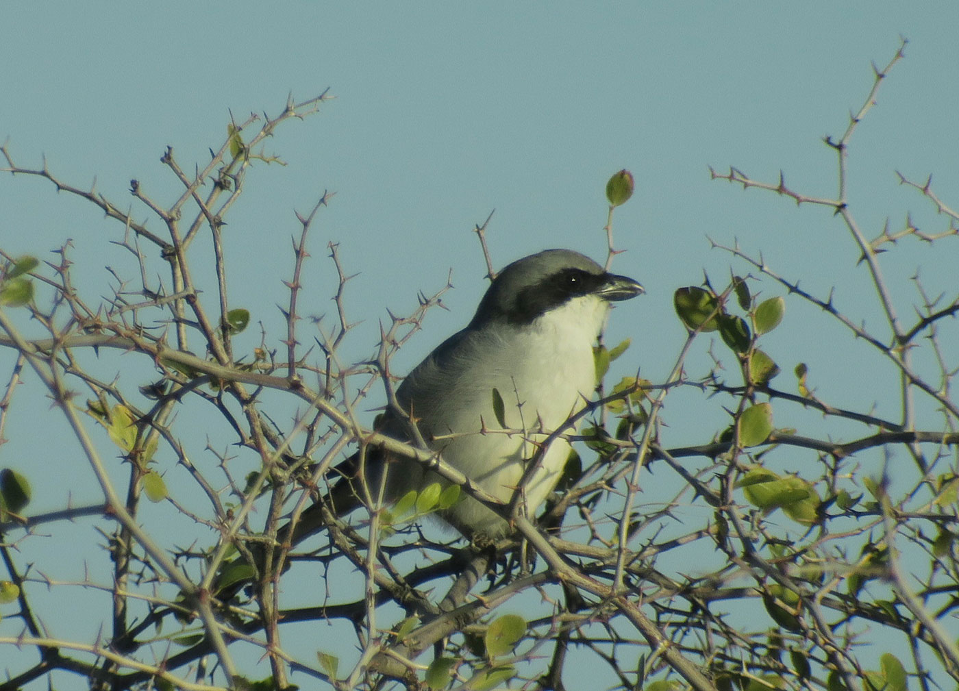 13_raubwuerger_great-grey-shrike_guelmim_marokko_2018-11-26_4569