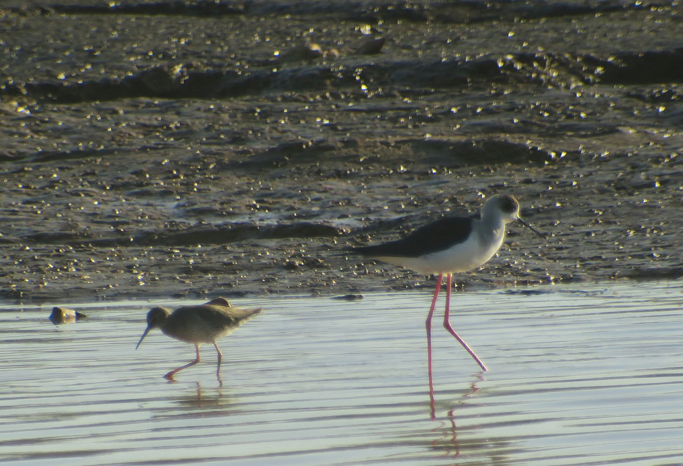15_dunkler-wasserlaeufer_spotted-redshank_stelzenlaeufer_black-winged-stilt_fluss_souss_agadir_2018-11-28_5247