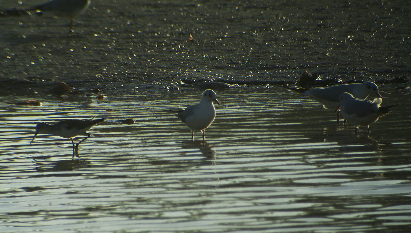 18_gruenschenkel_greenshank_lachmoewe_black-headed-gull_fluss_souss_agadir_2018-11-28_5323