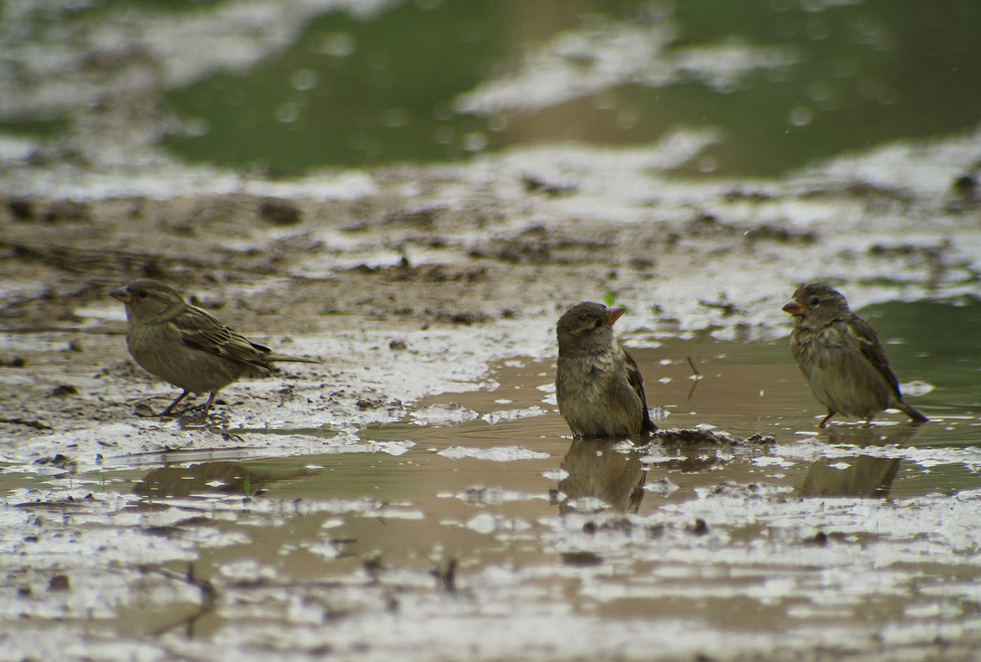 23_haussperling_house-sparrow_massa_marokko_2018-11-25_4033