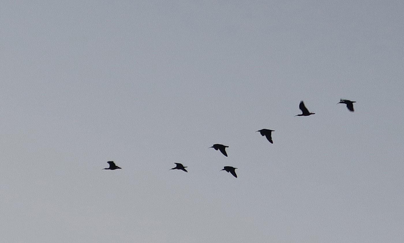 38_waldrapp_bald-ibis_sidi-wassay_marokko_2018-11-24_3806