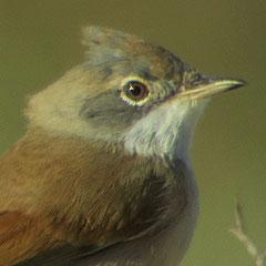 Marokko – Tag 1: Brillengrasmücke, Triele, Kiebitzregenpfeifer, Sanderling und ein Regenbrachvogel am Atlantik