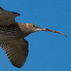 Große Brachvögel, Blässgänse und Singschwäne am Chiemsee