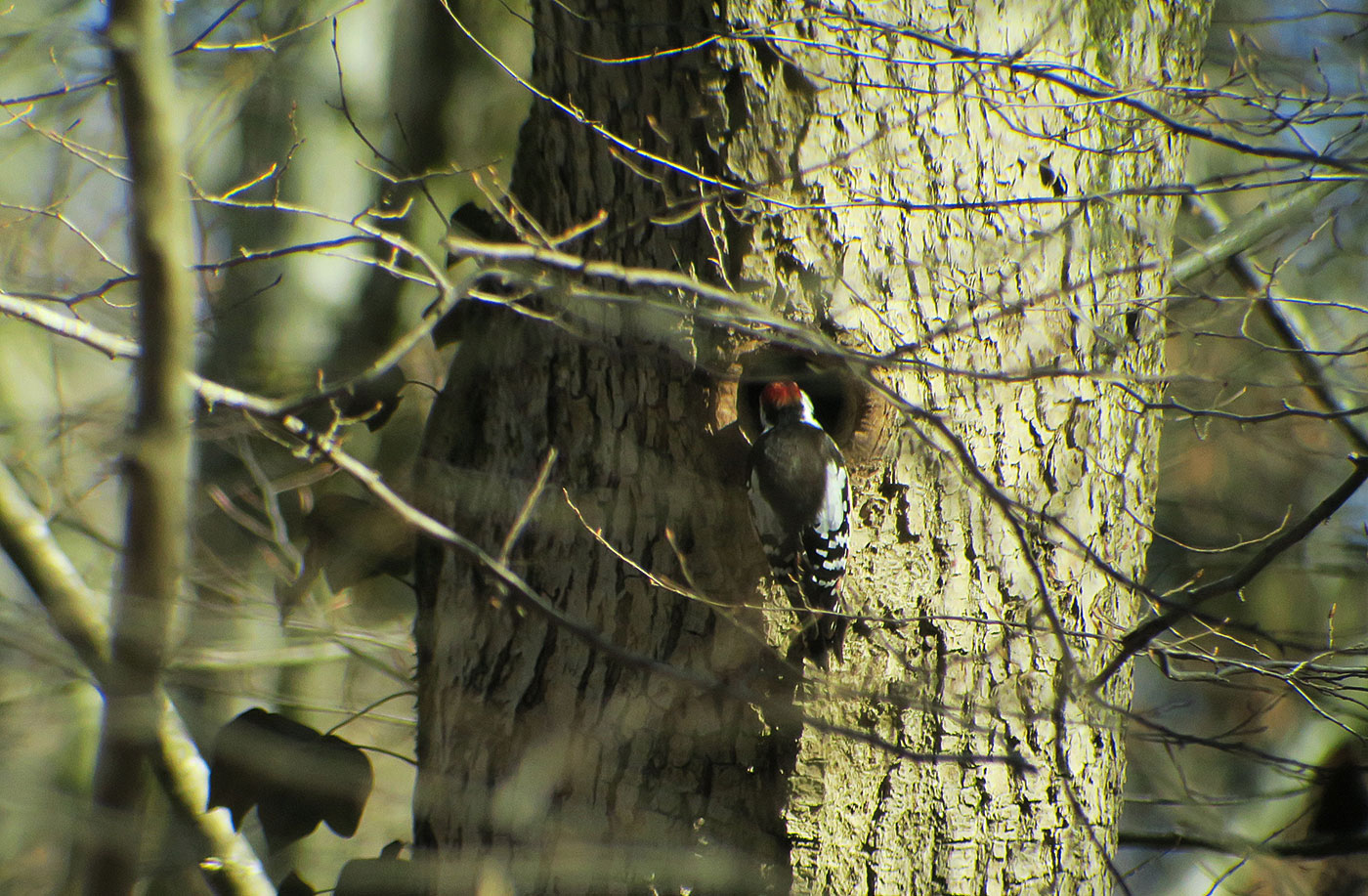 02_mittelspecht_middle-spotted-woodpecker_seeholz_ammersee_2019-02-23_7095