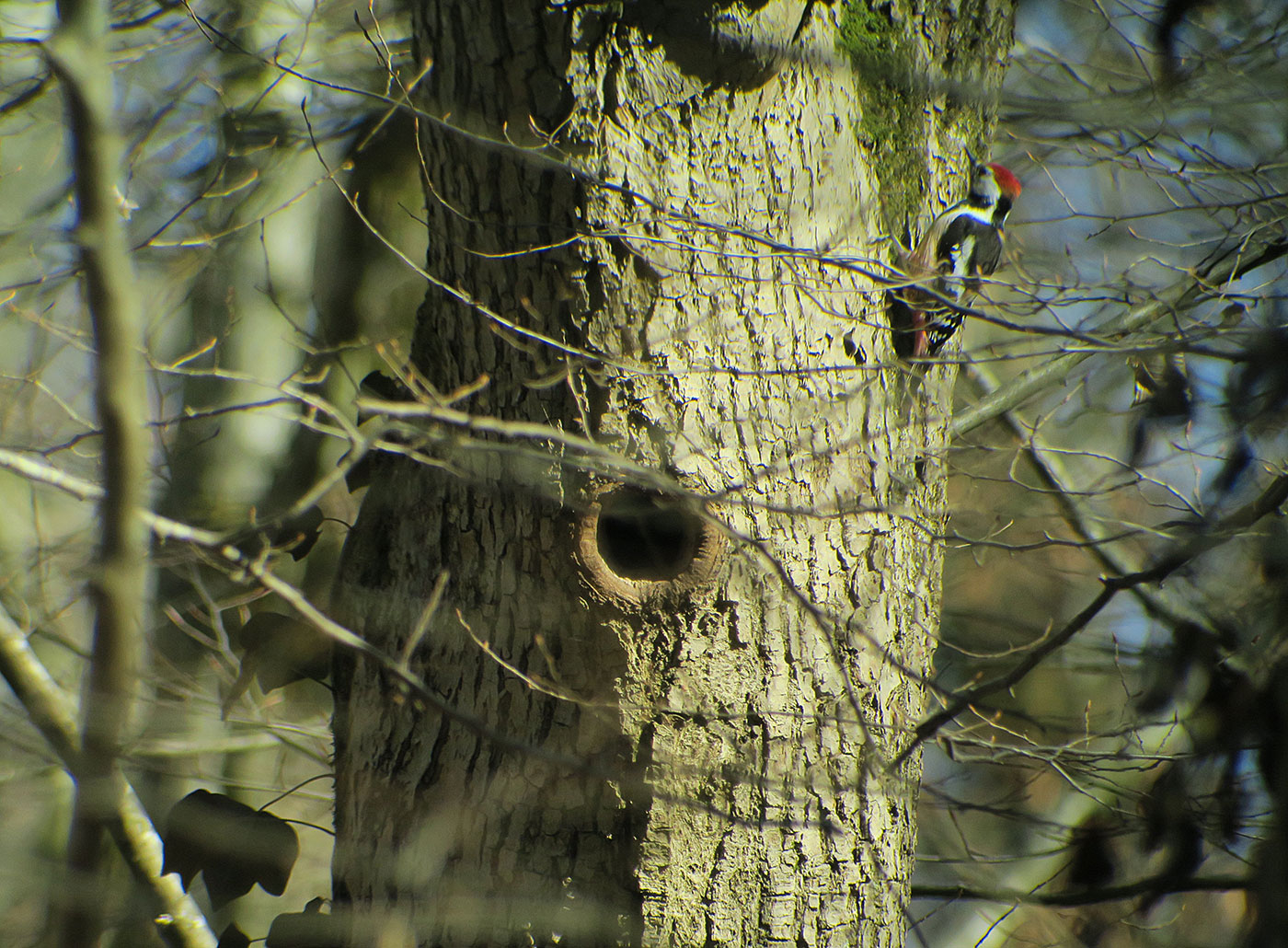 03_mittelspecht_middle-spotted-woodpecker_ammersee_2019-02-23_7097