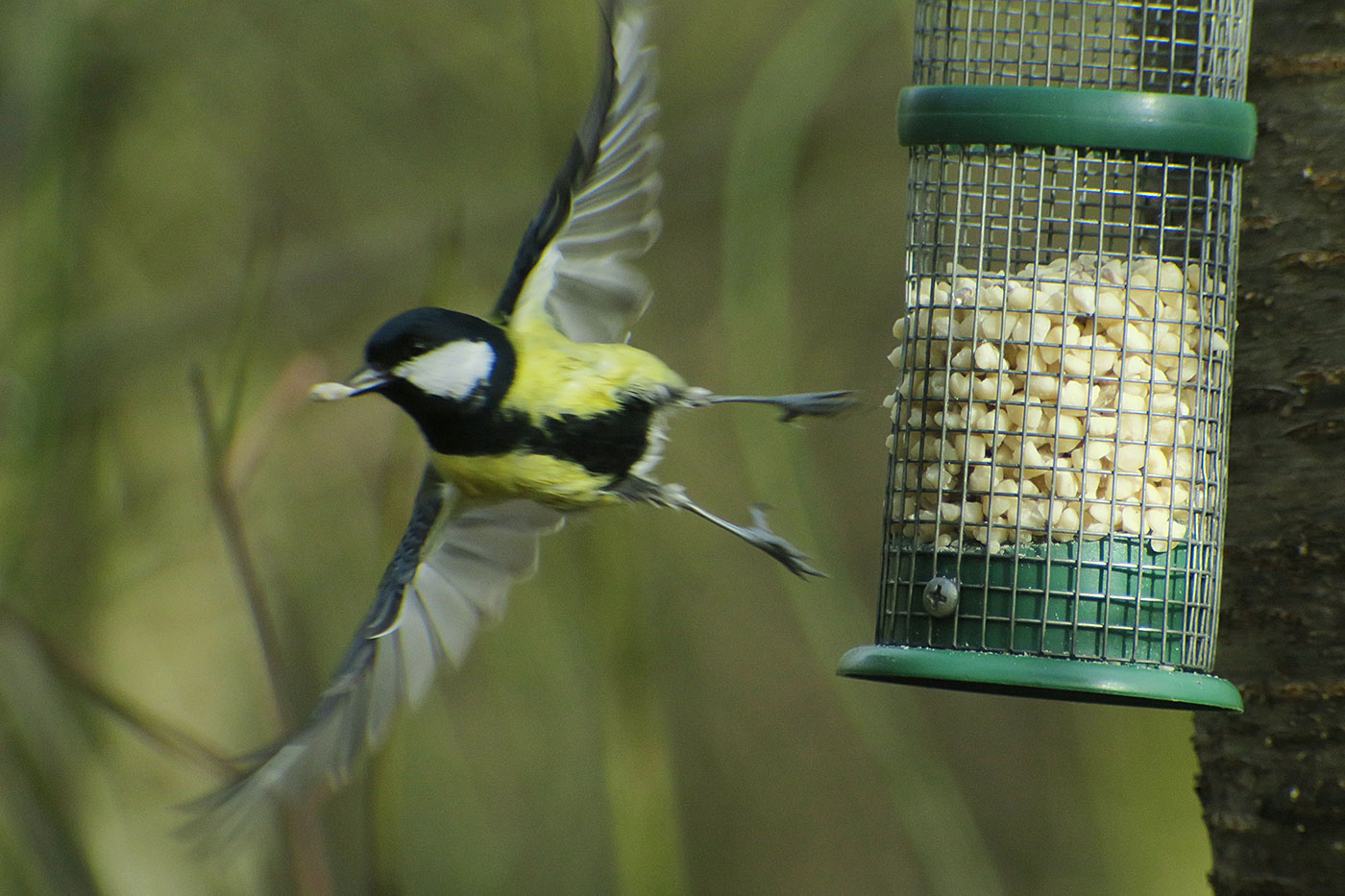 04_kohlmeise_great-tit_perlacher-forst_2019-03-03_7477