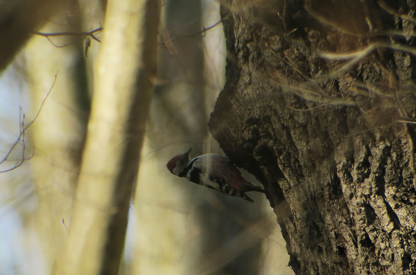 04_mittelspecht_middle-spotted-woodpecker_ammersee_2019-02-23_7116