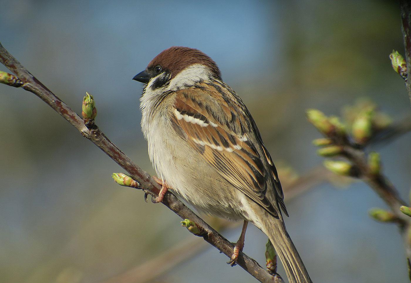 05_feldsperling_tree-sparrow_echinger_stausee_2019-03-31_8387