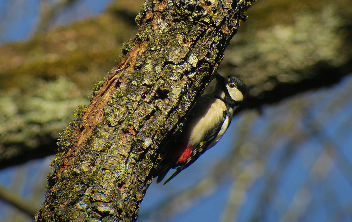 06_buntspecht_great-spotted-woodpecker_ammersee_2019-02-23_7129