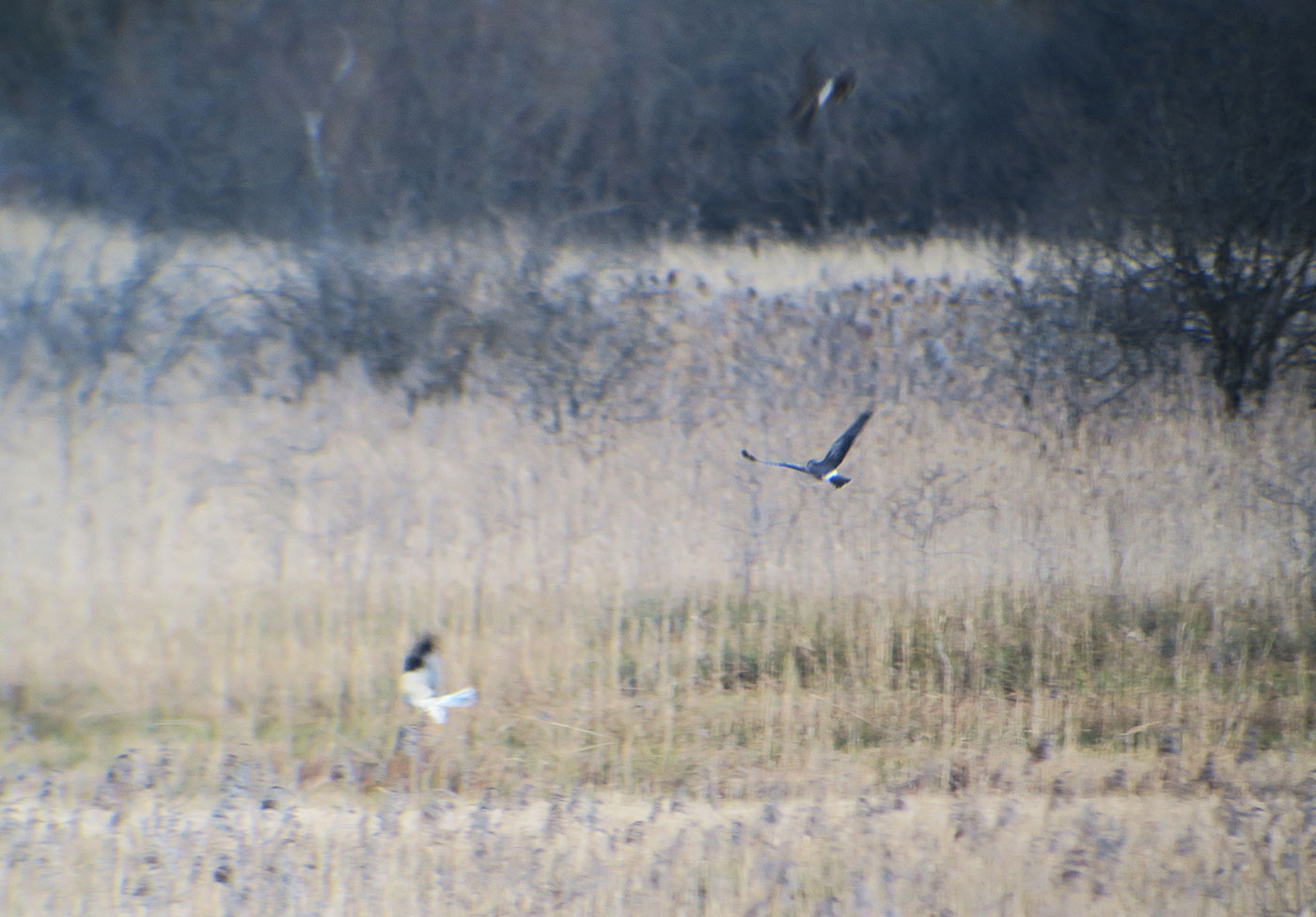 07_kornweihe_northern-harrier_ampermoos_2019-02-23_7235