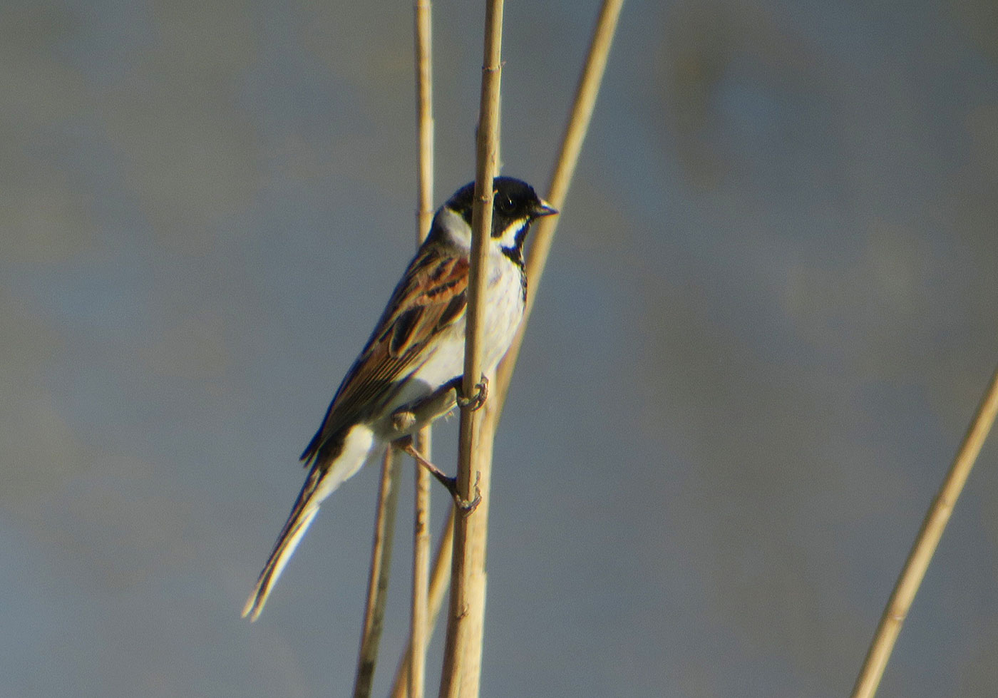14_rohrammer_common-reed-bunting_echinger_stausee_2019-03-31_8417