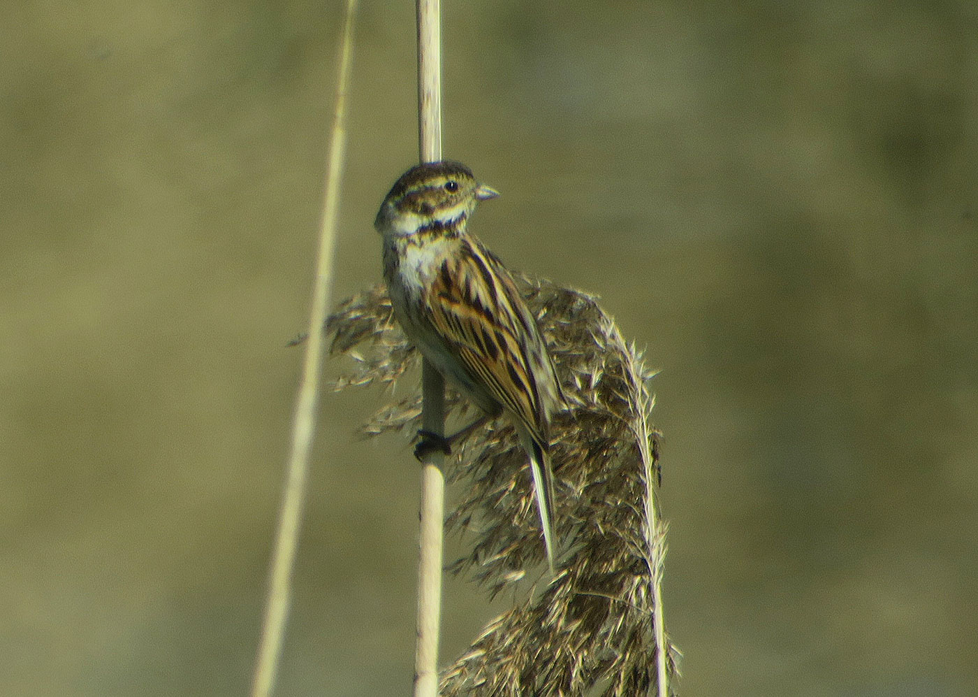15_rohrammer_common-reed-bunting_echinger_stausee_2019-03-31_8443