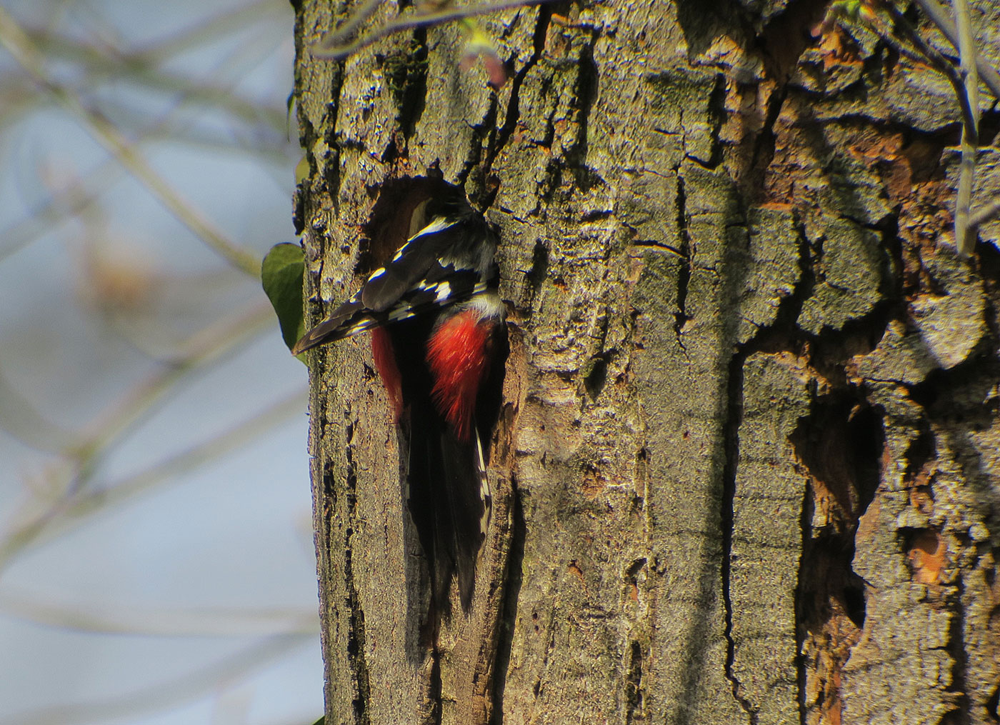 05_buntspecht_great-spotted-woodpecker_ostfriedhof_2019-04-06_8584