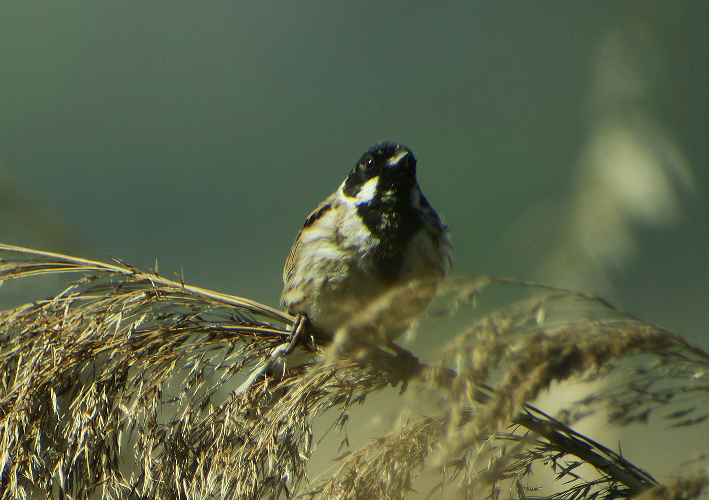 12_rohrammer_common-reed-bunting_ammersee_2019-05-01_9634