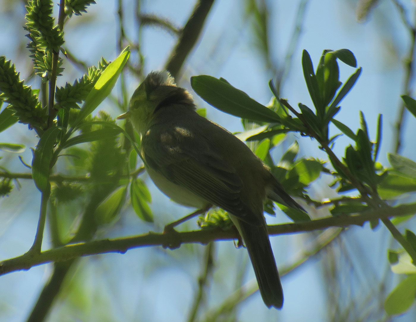 13_fitis_willow-warbler_kieswerk_2019-04-19_9066