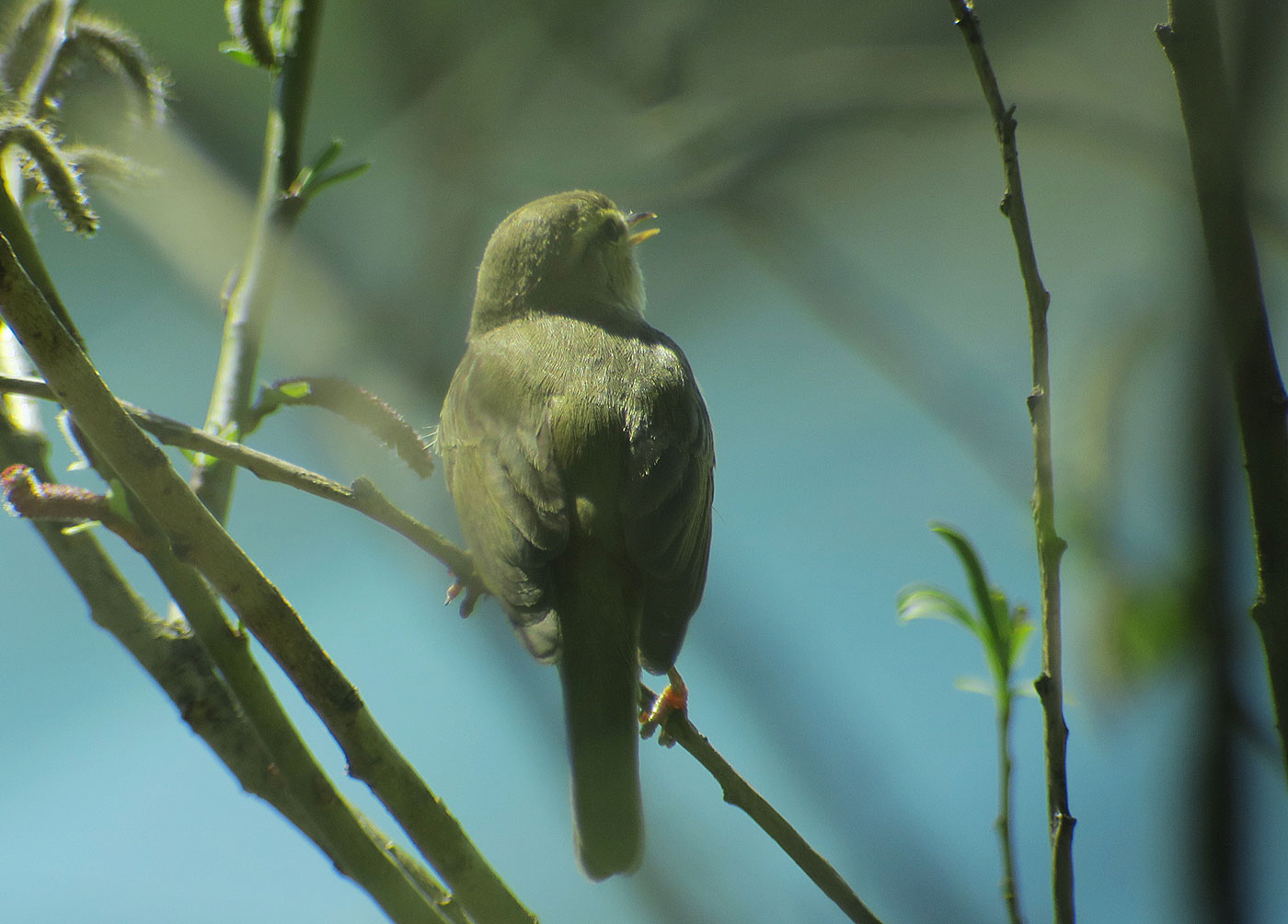 14_fitis_willow-warbler_kieswerk_2019-04-19_9079