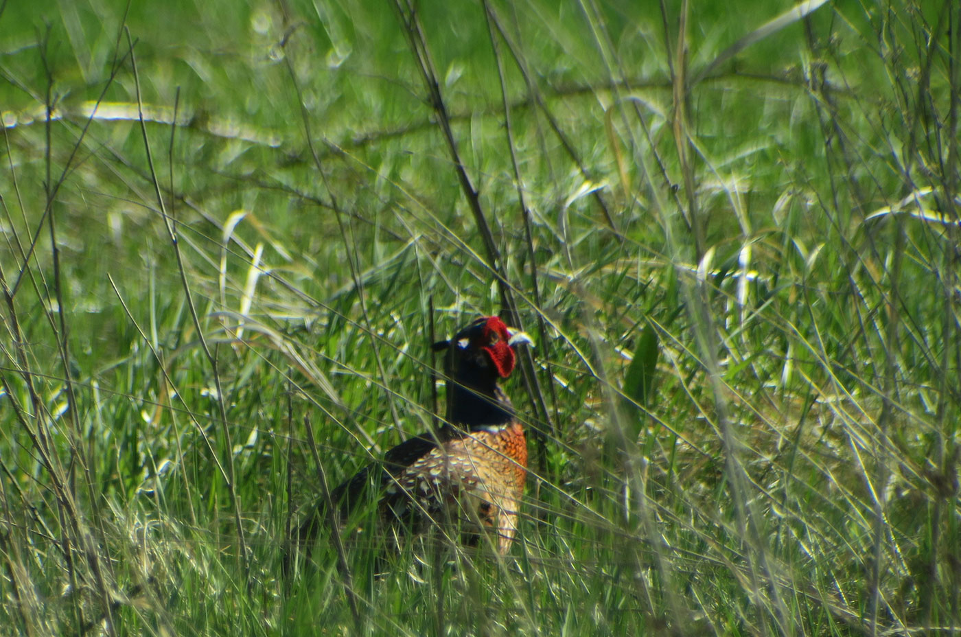 15_jagdfasan_common-pheasant_abfanggraben_2019-04-19_9109