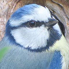 Blaumeise, Stieglitz, Haubentaucher beim Nestbauen