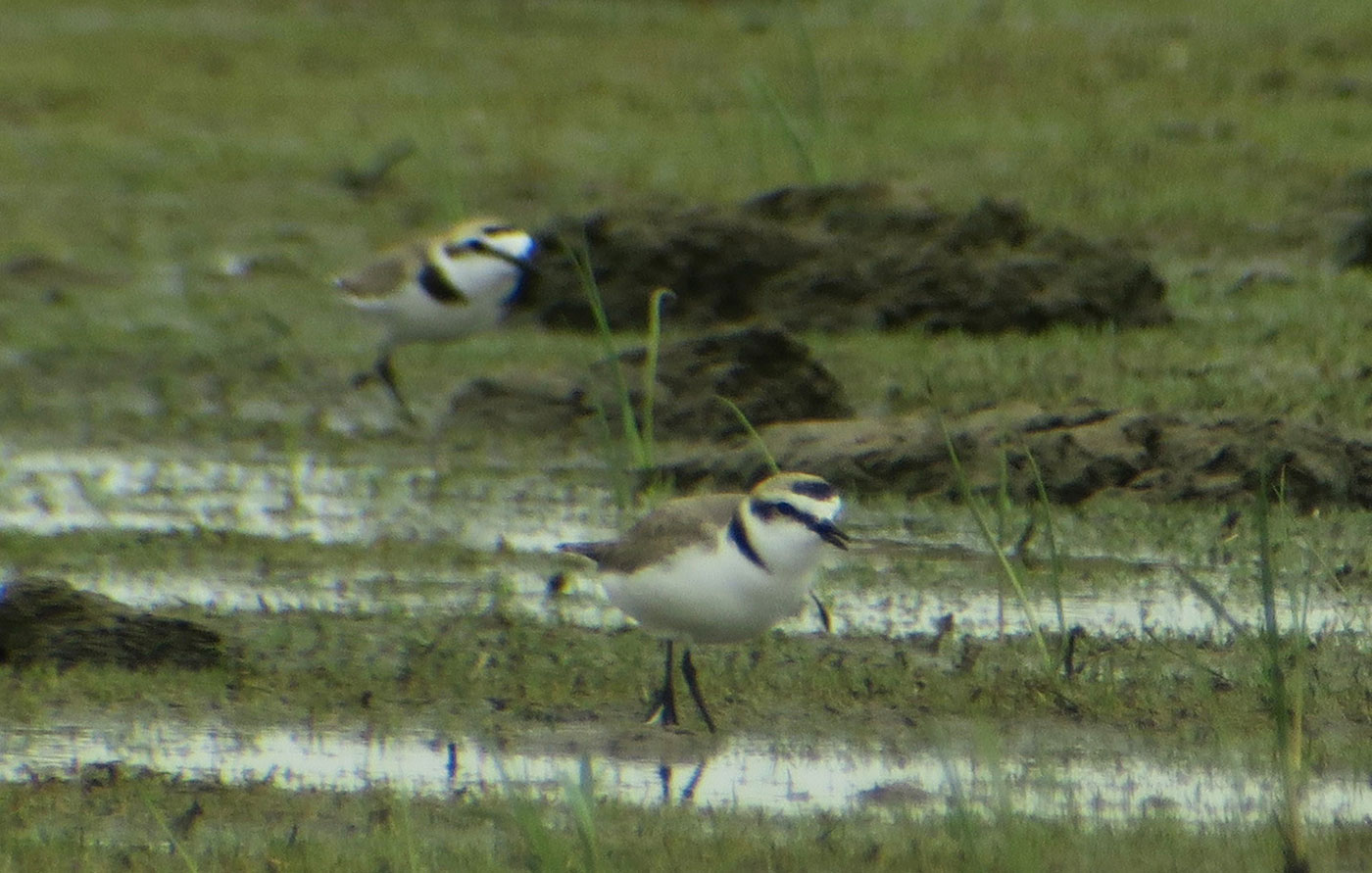 02_seeregenpfeifer_kentish-plover_sandeck_2019-05-23_0707