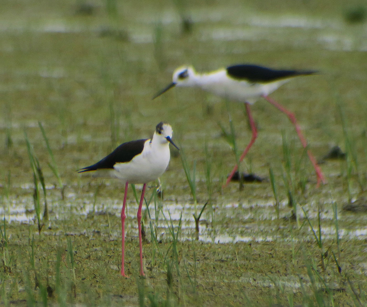 03_stelzenlaeufer_black-winged-stilt_neusiedler_2019-05-23_0718