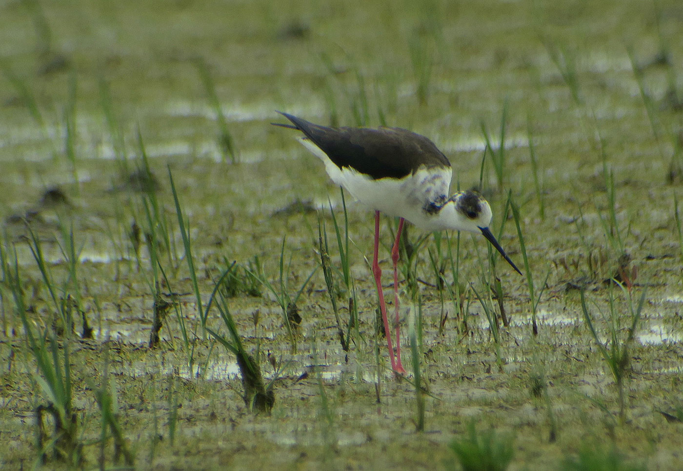 04_stelzenlaeufer_black-winged-stilt_sandeck_2019-05-23_0748