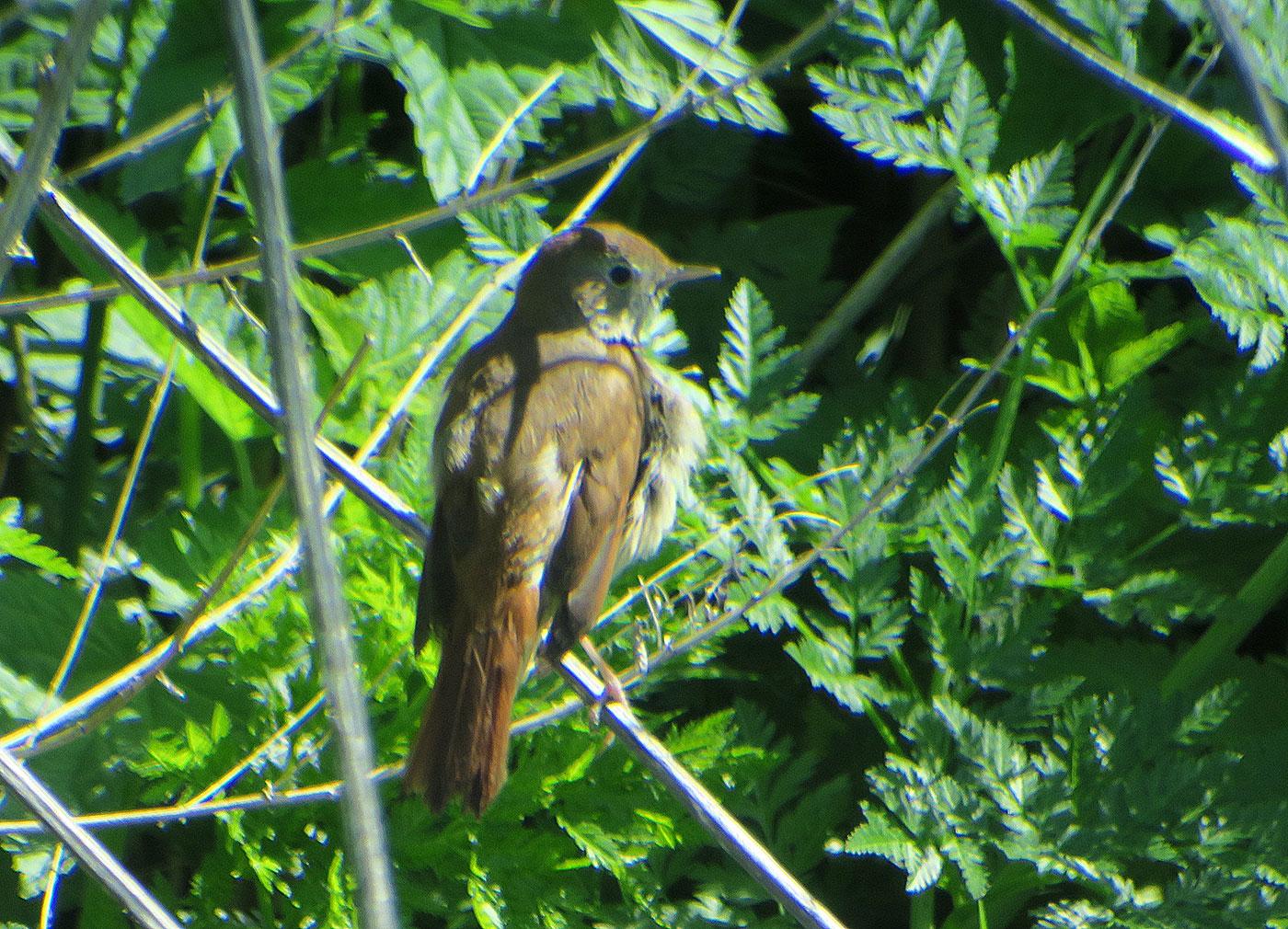 05_nachtigall_common-nightingale_hansag_2019-05-24_0902