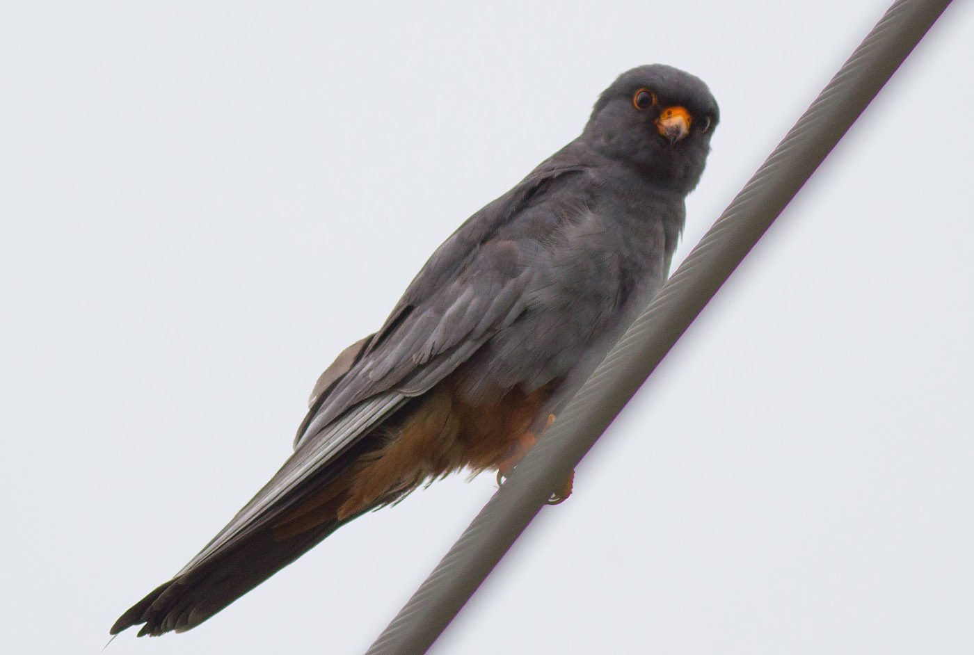 17a_rotfussfalke_red-footed-falcon_markus-daehne