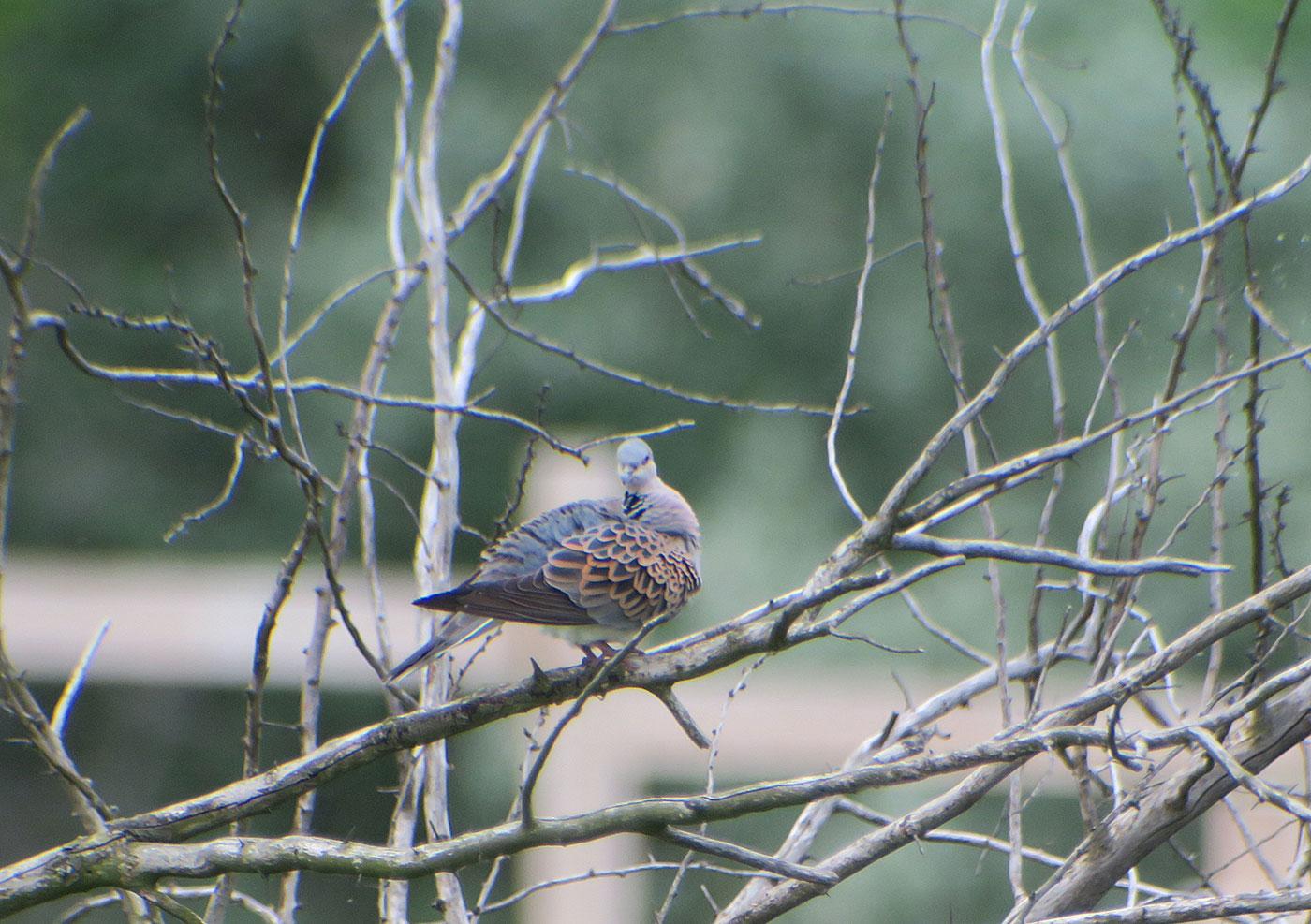 22_turteltaube_european-turtle-dove_pferdestall_2019-05-21_0583