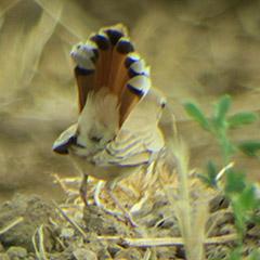 Marokko im Mai | 1: Heckensänger, Blauwangenspint und zwei Wüstenuhus