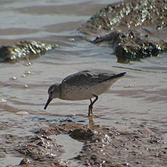 Marokko – Tag 10: Knutt, Fischadler und Rosaflamingo
