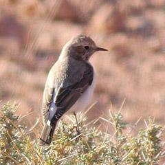 Marokko – Tag 2: Berbersteinschmätzer, Atlasgrünspecht und Alpenbraunelle