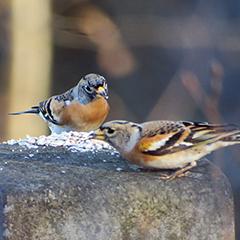 Hungrige Bergfinken und eine Misteldrossel im Friedhof