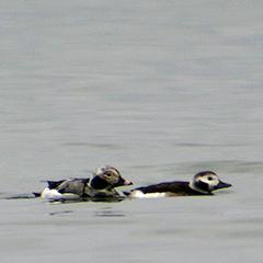 Zwei Eisenten überwintern am Starnberger See