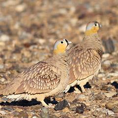 Marokko – Tag 5: Kronenflughuhn, Sandlerche, Saharagrasmücke, Wüstensteinschmätzer, Wüstensperling, Wüstenläuferlerche, Wüstenrabe