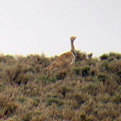 Marokko im Mai | 3: Saharakragentrappe, Rennvogel und Dupontlerche