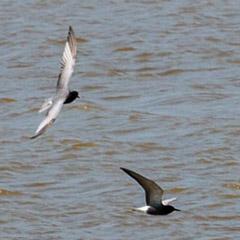 Neusiedler See – Tag 6: Trauerseeschwalbe, Zwergmöwe, Drosselrohrsänger, Schilfrohrsänger