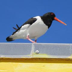 Helgoland – Tag 2 nachmittags: Austernfischer und Steinwälzer