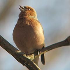 Schillernde Stare und schmetternde Buchfinken in Ismaning