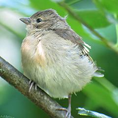 Junger Buchfink wartet auf Fütterung