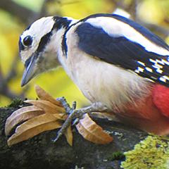 Buntspecht: Spechtschmiede und Ringelbaum