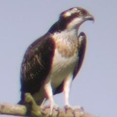 Weißstorch und Fischadler im Wiesmet